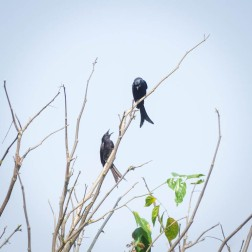 Cross tailed Drongos