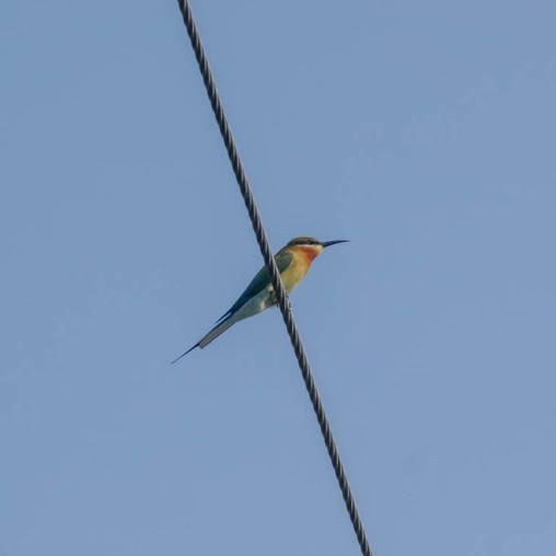 My First spot of a Bee-eater